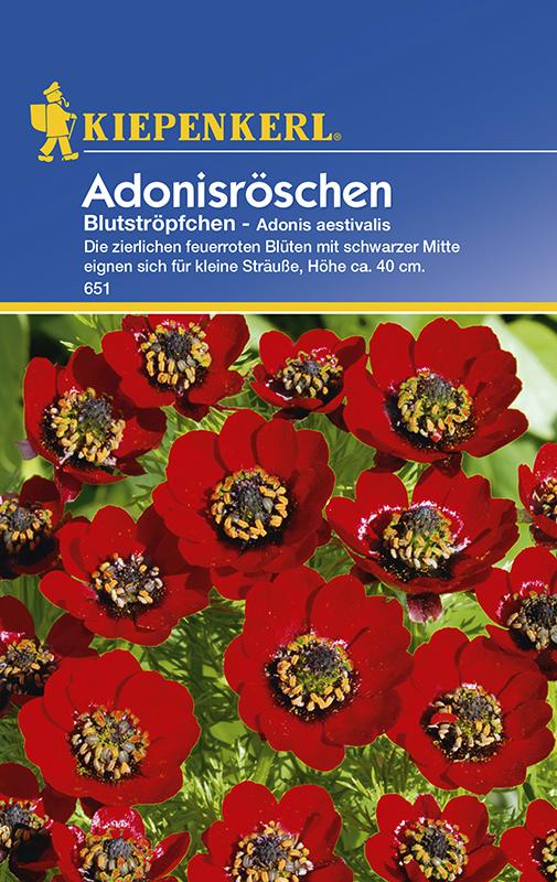 Adonisröschen * Blutströpfchen * Adonis Bauerngarten Kiepenkerl 651