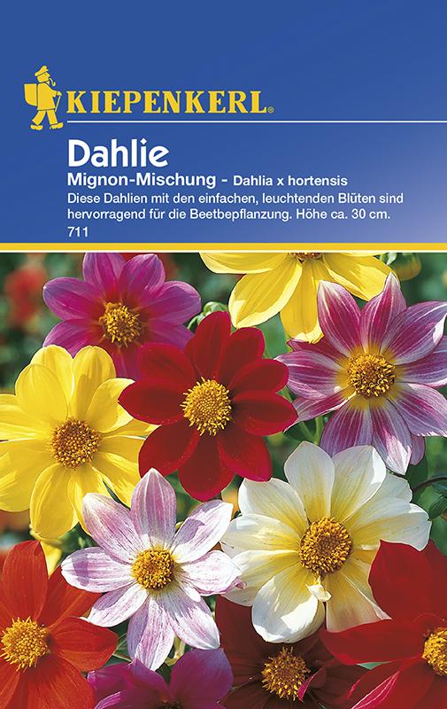 Dahlien * Mignon - Mischung * Dahlia x hortensis Kiepenkerl 711